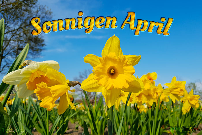 osterglocken_sonnigen-april